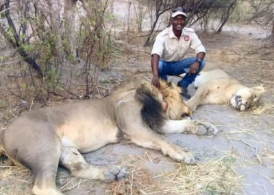 Lions being collared